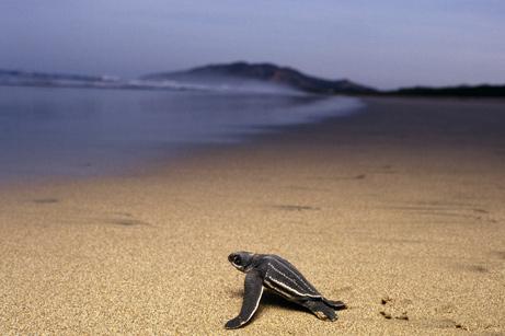 080314-turtles-costarica_big.jpg